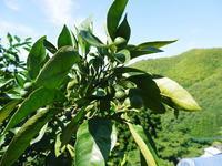 ザ・みかん着果後の様子(2020)雑草を生やし水も十分に与えて育て摘果作業で仕上げる匠のみかん - FLCパートナーズストア