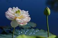 古代蓮の里 - 四季の予感
