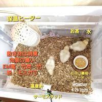 ヒヨコの飼い方 - 烏骨鶏かわいいブログ