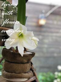 今ですか?アマリリス………。 -  Flower and cafe 花空間 ivory (アイボリー)