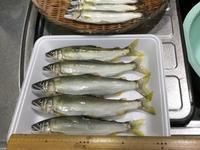 庄川の夕釣りで今年初の20㎝ - 鮎毛鉤釣りの旅
