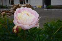 芍薬 - はなこっちの夢見る花園