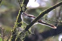エナガとヤマガラ幼鳥 - じじい見習いtroutのアウトドアライフ