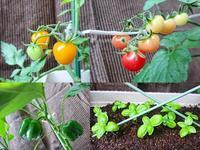 トマト パプリカ バジル - NATURALLY