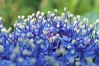 ガクアジサイ額紫陽花 - 里山の四季