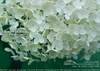 雨煙る、夏。紫陽花は、白。sony α7RIV + SIGMA 70mm F2.8 DG MACRO 実写 #SIGMA - さいとうおりのお気に入りはカメラで。