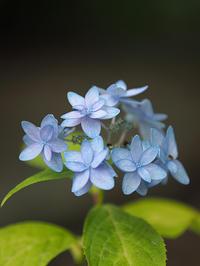 山紫陽花…⑤ - 花ごよみ~山野草に魅せられて~