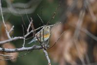 投稿できる野鳥の写真が少なくなって・・・ルリビタキ - 平凡な日々の中で