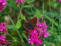 庭のチョウ - 飛騨山脈の自然