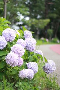 ポートアイランドの紫陽花ロード - カンパーニュママの一眼レフ生活とポメプーころすけと日々の出来事日記
