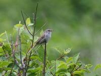 八島湿原のウグイス - コーヒー党の野鳥と自然パート3