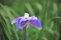 花しょうぶ - 都忘れと忘れな草