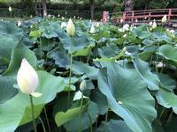蓮の花とヒナ鳥 - y's 通信 ~季節を彩る風物詩~