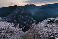 桜咲く~下千本の夜明け - katsuのヘタッピ風景