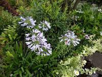 アガパンサス - natural garden~ shueの庭いじりと日々の覚書き