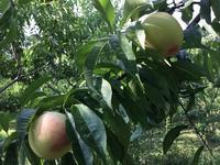 桃 - 自然栽培 果樹カナン