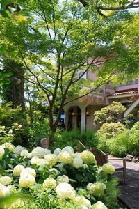 浄妙寺、石窯ガーデンテラスのアナベル - 暮らしを紡ぐ2