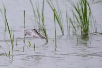 沼のクロハラアジサシ(2) - 銀狐の鳥見