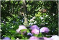 長居植物園にて紫陽花 - 今日のいちまい