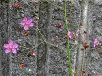 ハゼランは名前が蘭でも雑草、ネジバナは雑草でも蘭 - 花と葉っぱ