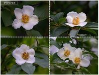 地元公園の一日花たち(ナツツバキ/サガリバナ) - トドの野鳥日記