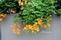 自宅庭 ノウゼンカズラ - azure 自然散策 ~自然・季節・野鳥~