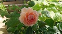 昨日の庭と今朝の庭 - 今から・花
