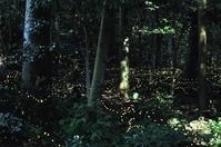 月夜の宴ヒメボタル - 大山山麓、山、滝、鉄道風景