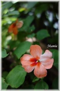 蝉の初鳴きと今日の庭の花 - おだやかに たのしく Que Sera Sera