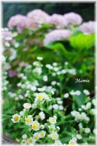 紫陽花と姫女苑 - おだやかに たのしく Que Sera Sera
