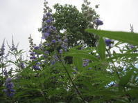 西洋ニンジンボクが咲き、ルリマツリが咲いた。 - 花の自由旋律