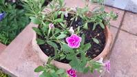 先日買った苗の植え付けと草取り - わらびの庭づくり。時々猫