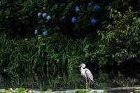 鷺 - 白鳥賛歌