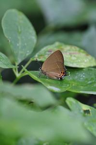 ミヤマカラスシジミの交尾 - 蝶超天国
