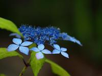 山紫陽花…⑥ - 花ごよみ~山野草に魅せられて~