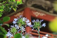 林叟院に咲くアガパンサスと紫陽花♪ - happy-cafe*vol.2