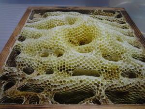 ここ数日、採蜜に勤しんでいます。 - 鑑定士ハチの部屋