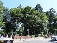 ニイニイゼミが鳴いていました@井の頭恩賜公園 - 東京いきもの雑記帳