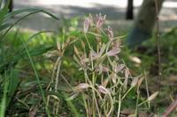 ■蘭 3種20.7.2(マヤラン、タシロラン、ネジバナ) - 舞岡公園の自然2