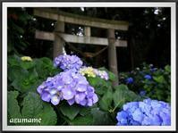 磯山神社の紫陽花 - キルトとステッチ時々にゃんこ