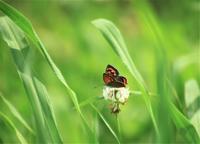 ベニシジミ蝶 - 都忘れと忘れな草