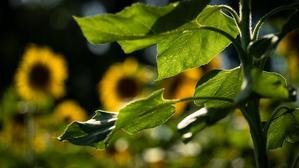 ヒマワリが咲き誇る7月の丘 - Soul Eyes