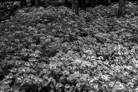 紫陽花の森 - え~えふ写真館