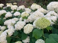 アナベルの小径 -  お花とハーブのアトリエ muguette