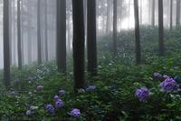 秩父 金沢浦山の紫陽花 光芒 - photograph3