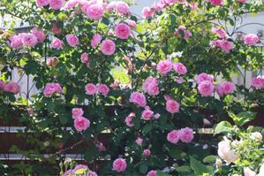 なんてったってガートルードジェキル! - my small garden~sugar plum~