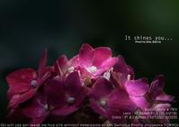 ひかりふる。焦らず行くよ。sony α7R III + SEL85F18 紫陽花 実写 - さいとうおりのお気に入りはカメラで。