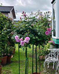 伸び過ぎクレマチスと、ステムの長い2番花♫ - 薪割りマコのバラの庭