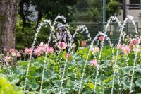 蓮の花がある風景 - あだっちゃんの花鳥風月