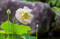 綺麗な蓮の花 - あだっちゃんの花鳥風月
